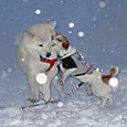 雪の子秋田犬1