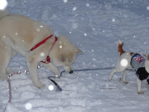 雪の子秋田犬2